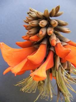 Erythrina Caffra Bloom