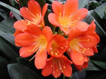 Kirstenbosch flower4
