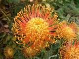 Kirstenbosch flower5