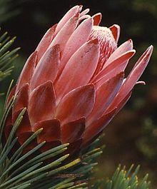 Kirstenbosch flower6