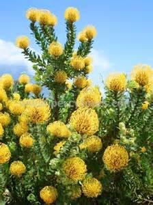 Yellow Fynbos