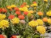 Multi-Color Proteas