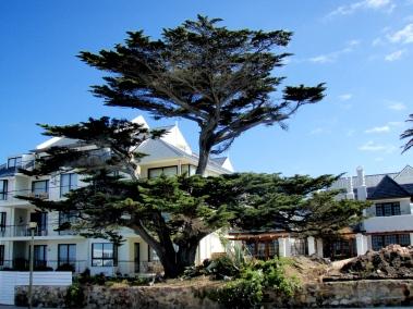 Boardwalk Tree