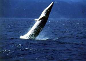 Byrde's Whale Breaching