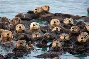 Cape Sea Otters