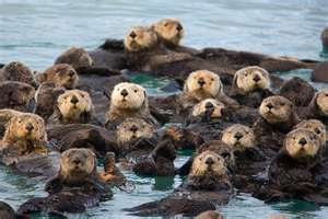 Cape Sea Otters