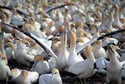 Cape Gannets