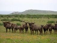 Postberg Wildebeest