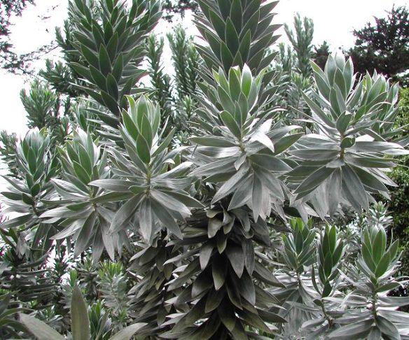 Silver Tree