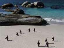 Cape Point Penguins