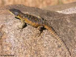 Girdled Lizard