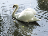 Swan at a Lodge Near Constancia Nek