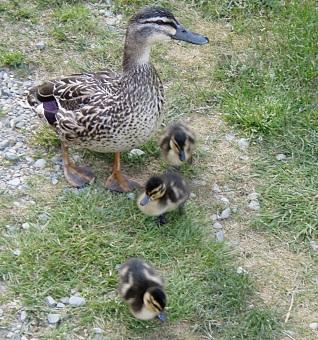 Lake Tekapo Ducklings