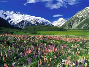 Mt. Cook and Lupine