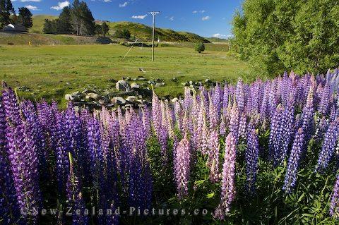 New Zealand Lupine
