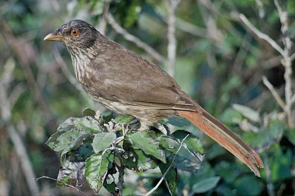 Piopio New Zealand Birds Online