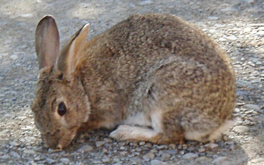 Lake Tekapo Rabbit
