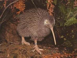 Rowi Kiwi