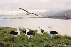 Royal Albatross Colony