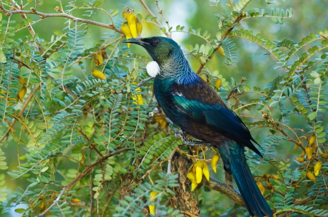 Tui - New Zealand Geographic