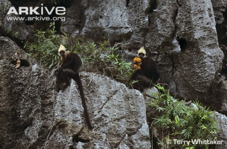 Hooded Black Langur