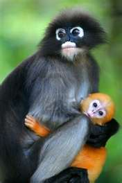 Dusty Leaf Monkey