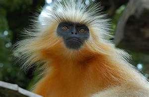 Golden Langur Monkey