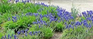 Blue Groundcover