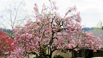 Cherry Tree South Hills