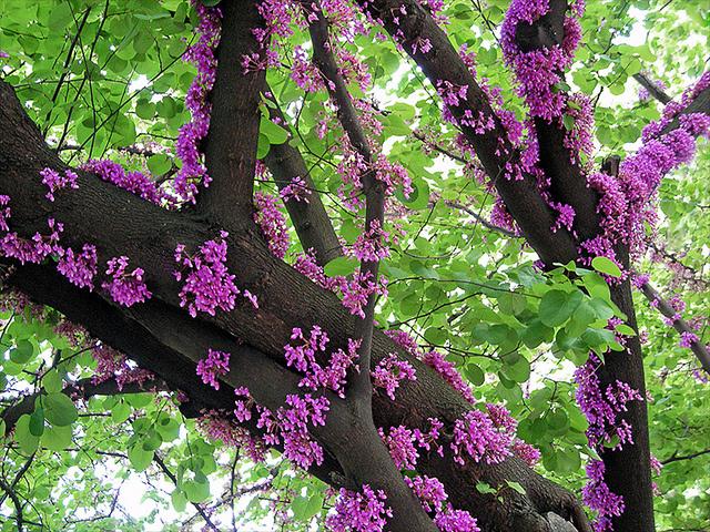 erguvan tree2