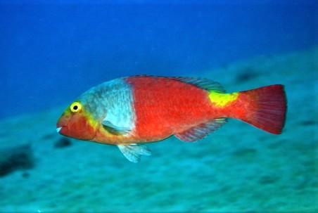 Mediterranean Parrotfish - Project Noah