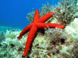 Mediterranean Star Fish - Atlantis Gozo