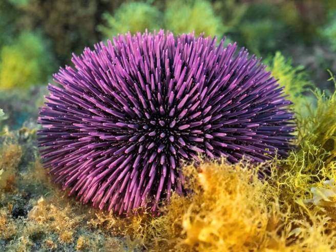 Violet Sea Urchin - Pinterest