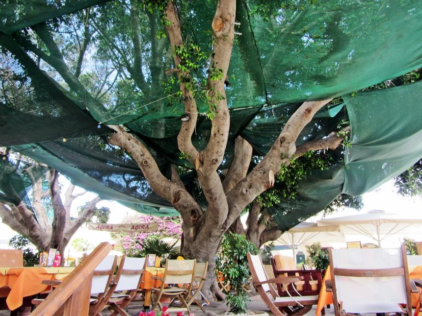 Hippocrates Plane Tree