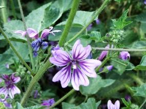 Ephesus Wildflower