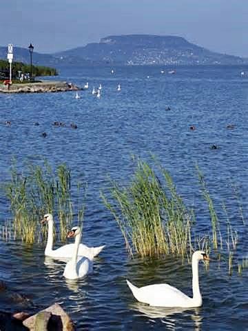 Lake Balaton Swans