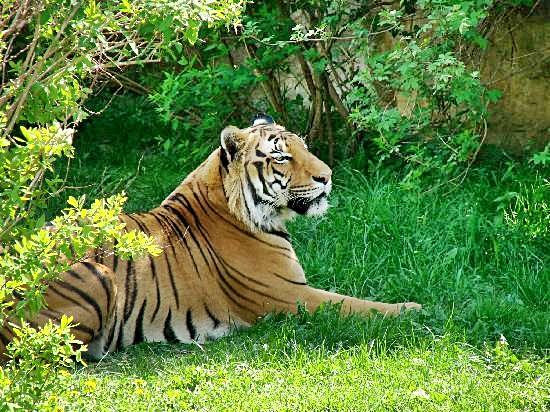 prague zoo tiger