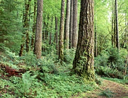 Douglas Fir Forest