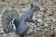 Oregon Grey Squirrel