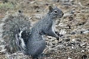 Oregon Grey Squirrel