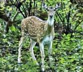 Oregon Spotted Deer