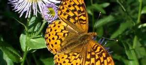 Wallowa Butterfly