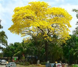 Guayacanes Tree