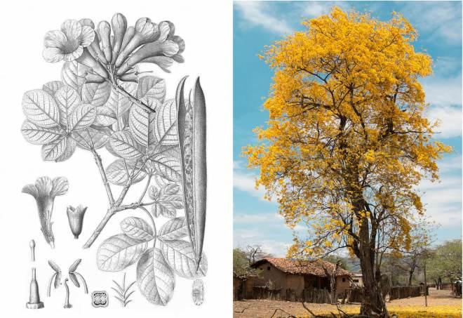 Guayacan Tree