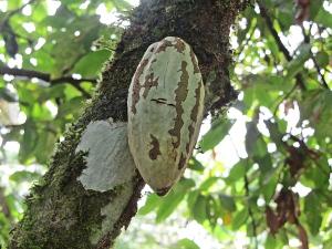 Cocoa Tree Seed Pod