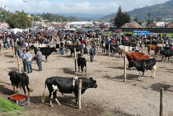 Livestock_market,_Otavalo_01