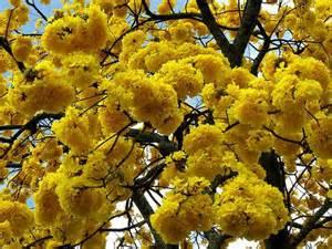 Tabebuia Chrysantha2