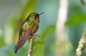 Violet-tailed Metaltail