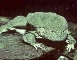 Giant Frog of Titicaca