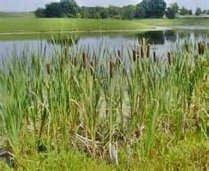 Totoro Reeds